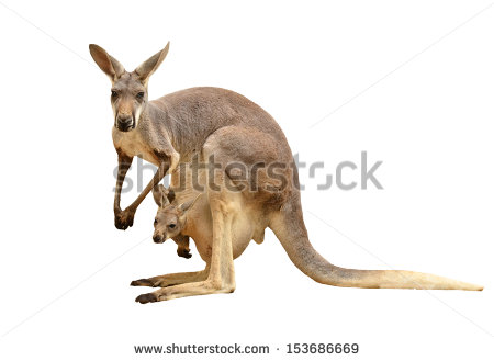stock-photo-kangaroo-isolated-on-white-background-153686669